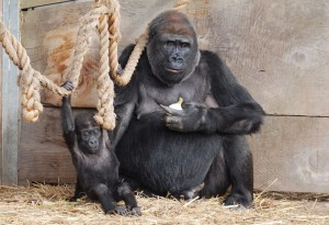 Gorilla with baby gorilla at Bristol Zoo