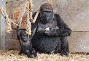 Gorilla with baby gorilla at Bristol Zoo